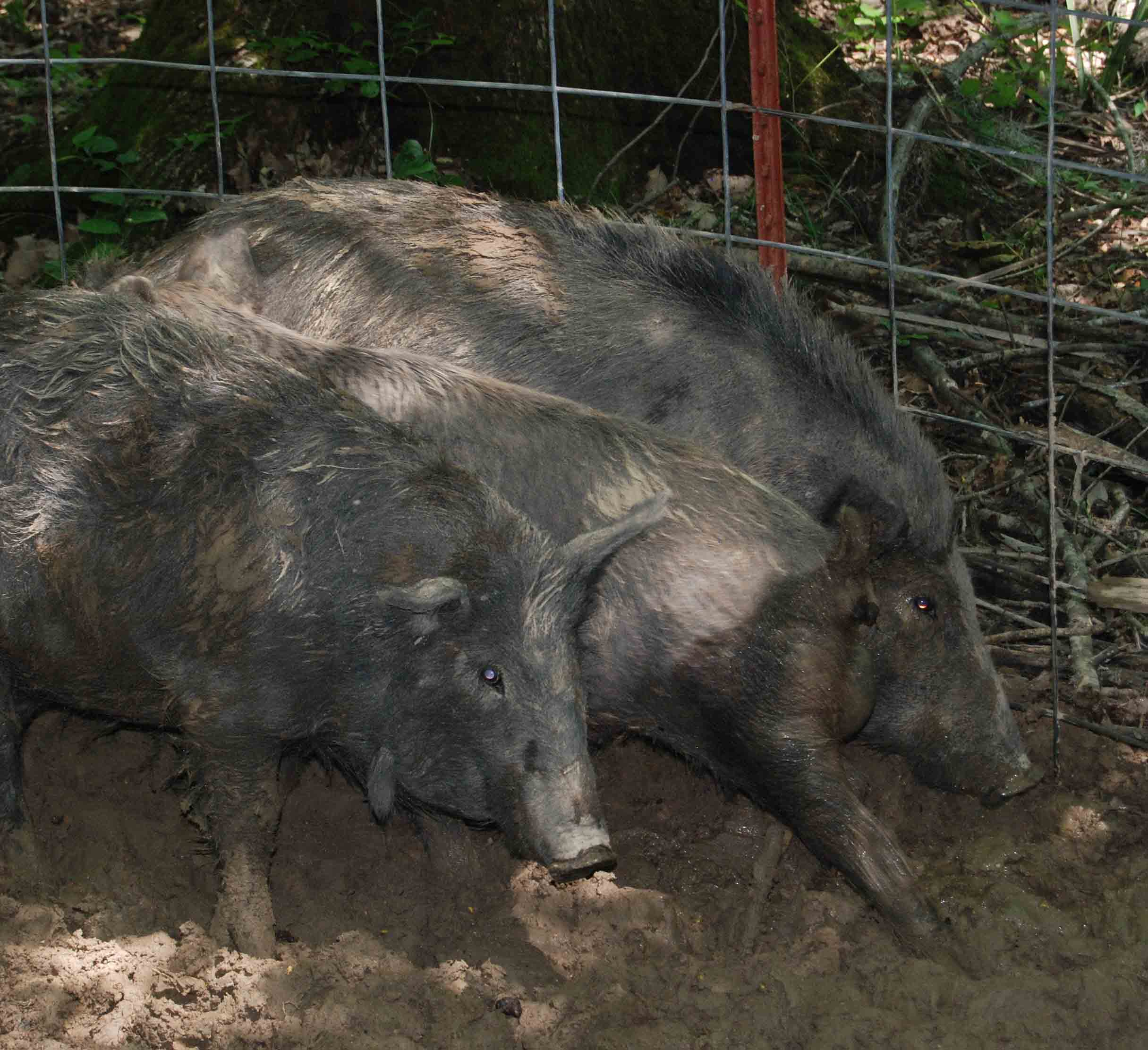 University of Georgia researchers are surveying landowners in Georgia to quantify the economic damage feral swine are causing the state.