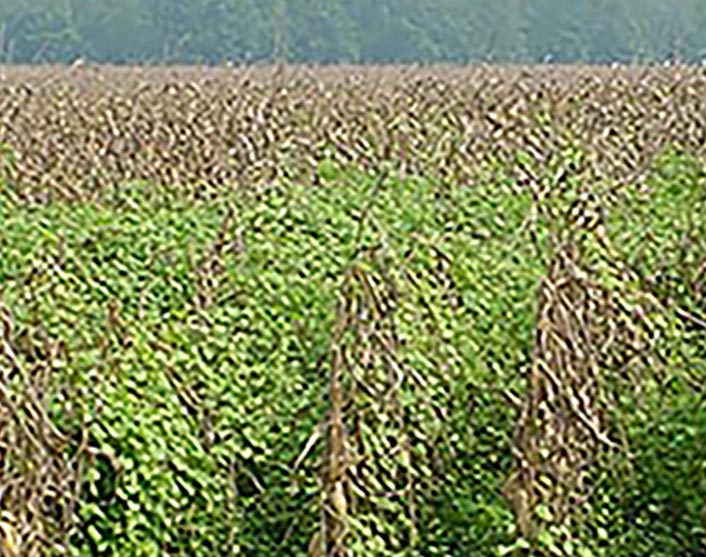 This picture shows corn stalks being overtaken by morning glory weeds.