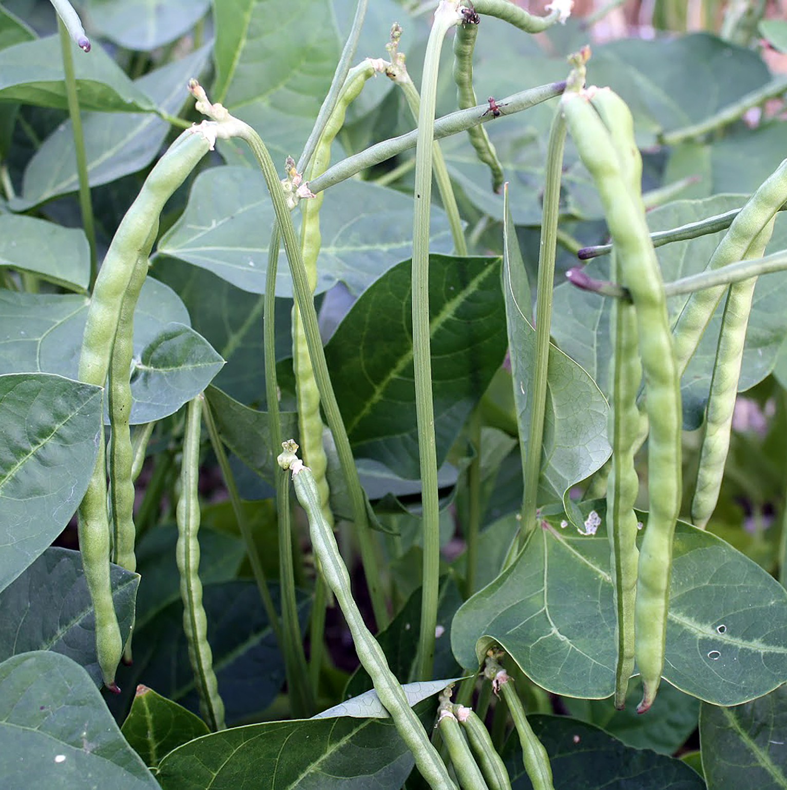 Damage caused by cowpea curculio on Southern peas.