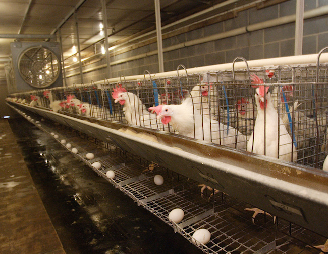 Chickens lay eggs in a laboratory on the University of Georgia main campus in Athens, Ga.