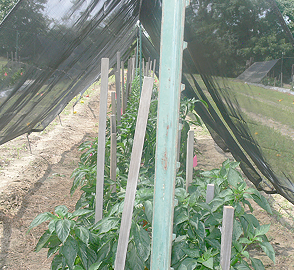 Pictured is a tent-like structure used as shading for bell pepper research on the UGA Tifton Campus.
