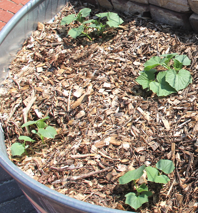 Mulch added to the base of vegetable plants is an effective way to keep weeds at bay without using a pesticide.