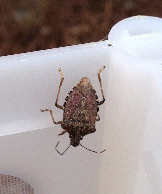 The brown marmorated stink bug, a native of Asia, can be found in 42 states and two Canadian provinces, according to the U.S. Department of Agriculture. To date, it is classified as a nuisance pest in Georgia, but could quickly become an agricultural pest if it gets to cotton fields and blueberry patches.