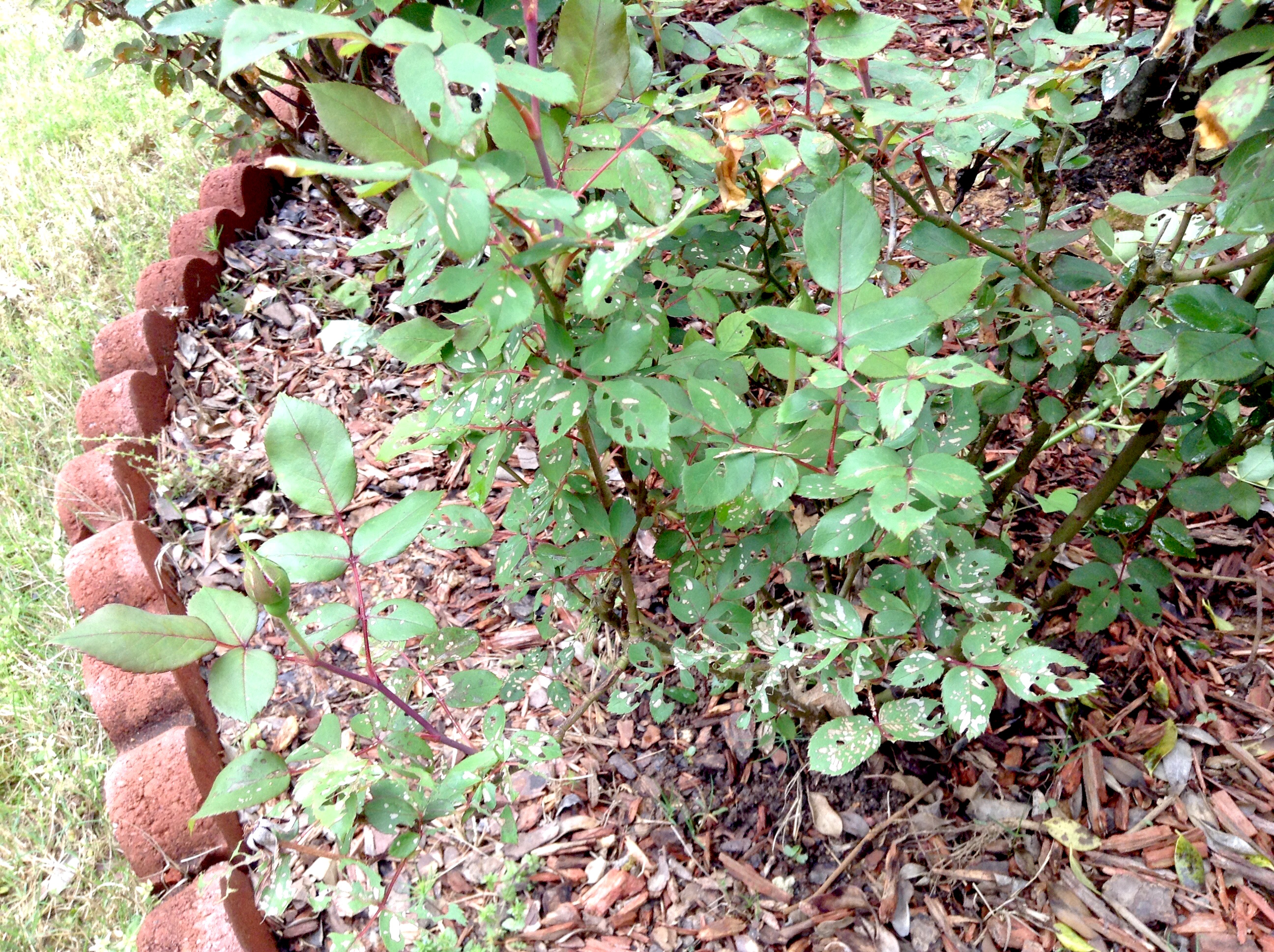 Sawfly damage on roses