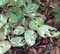 Sawfly damage on roses