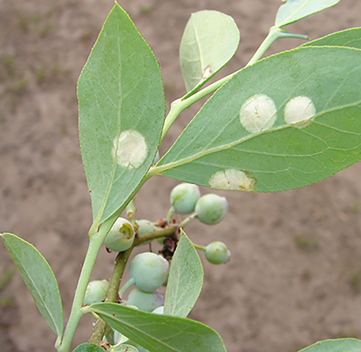 Pictured is Exobasidium leaf spot disease on blueberries.
