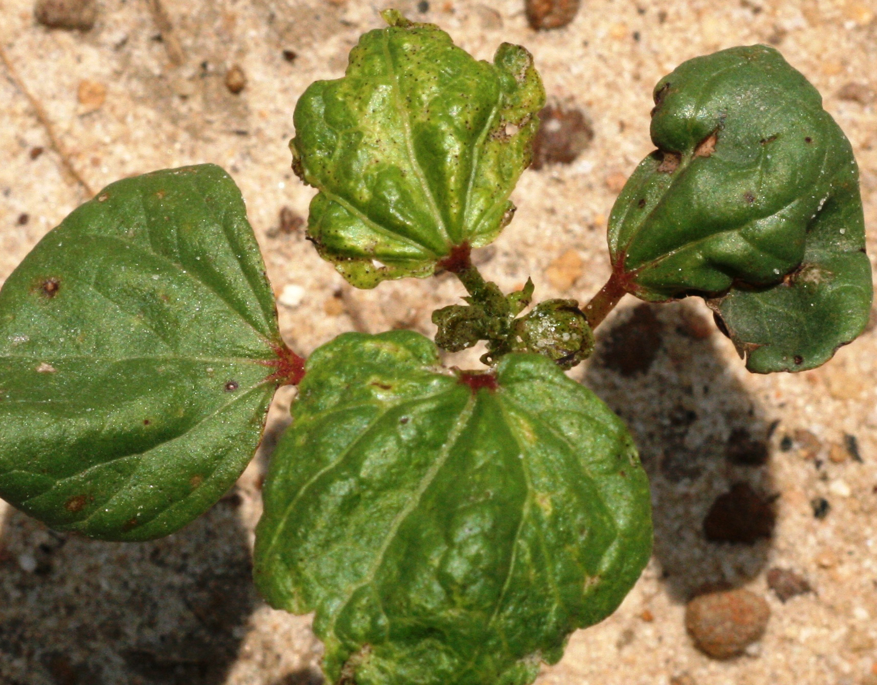 Pictured is a cotton plant impacted by thrips damage.