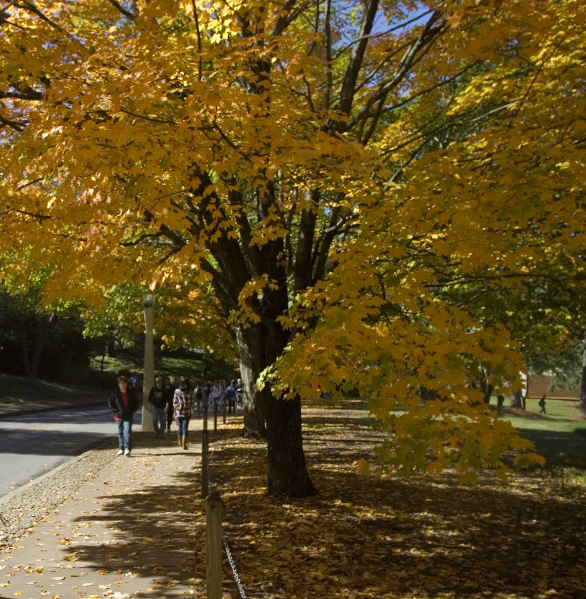 A University of Georgia student walks along Cedar Street under a canopy of bright yellow. The UGA Arboretum Committee is challenging students to take a picture of the campus trees that they find most memorable.