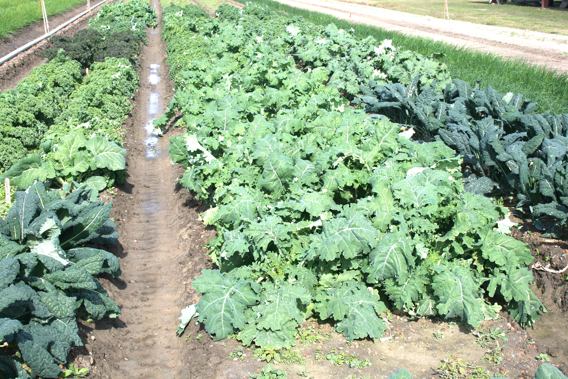 Kale is being researched on the UGA Tifton Campus.