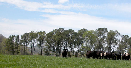 Beef cattle graze on a pasture on the Georgia Mountain Research and Education Center in Blairsville, Ga.