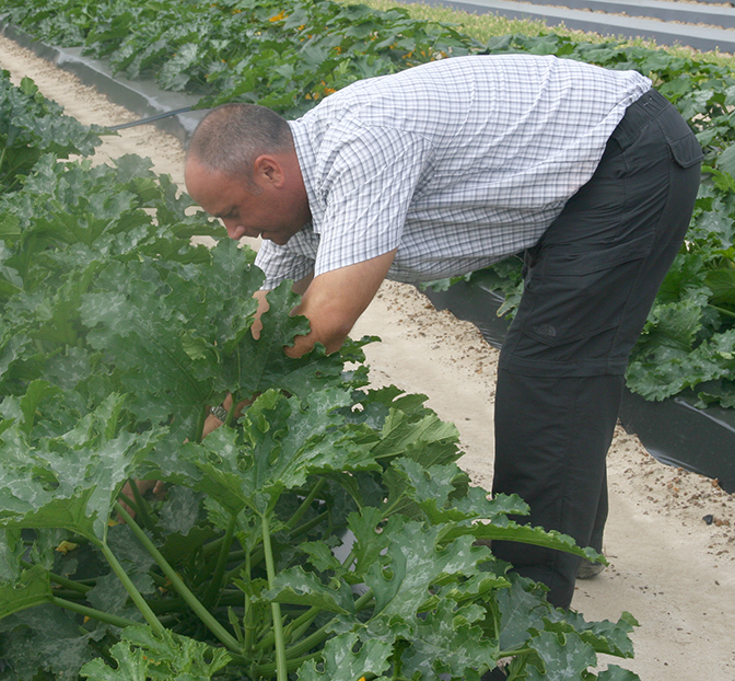 Tim Coolong, UGA vegetable horticulturist, looks for squash in a plot on the UGA Tifton Campus.