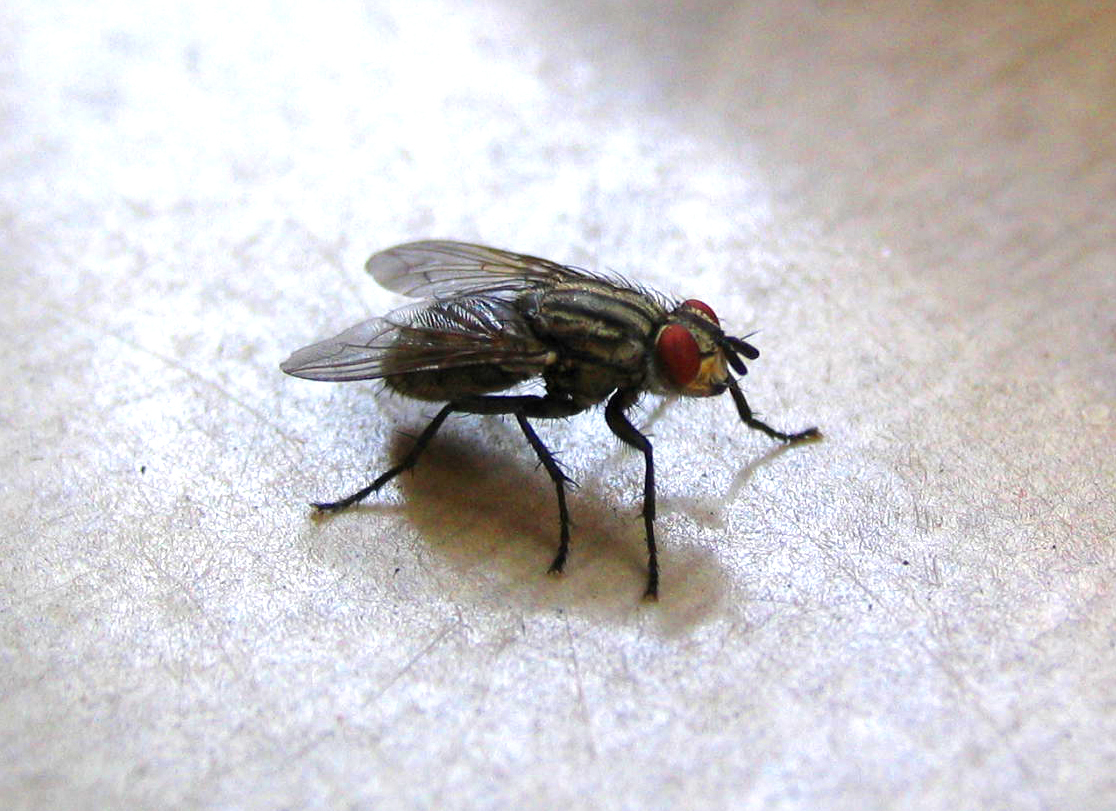 Houseflies have sticky feet and hairy bodies, perfect for transporting dirt and germs.