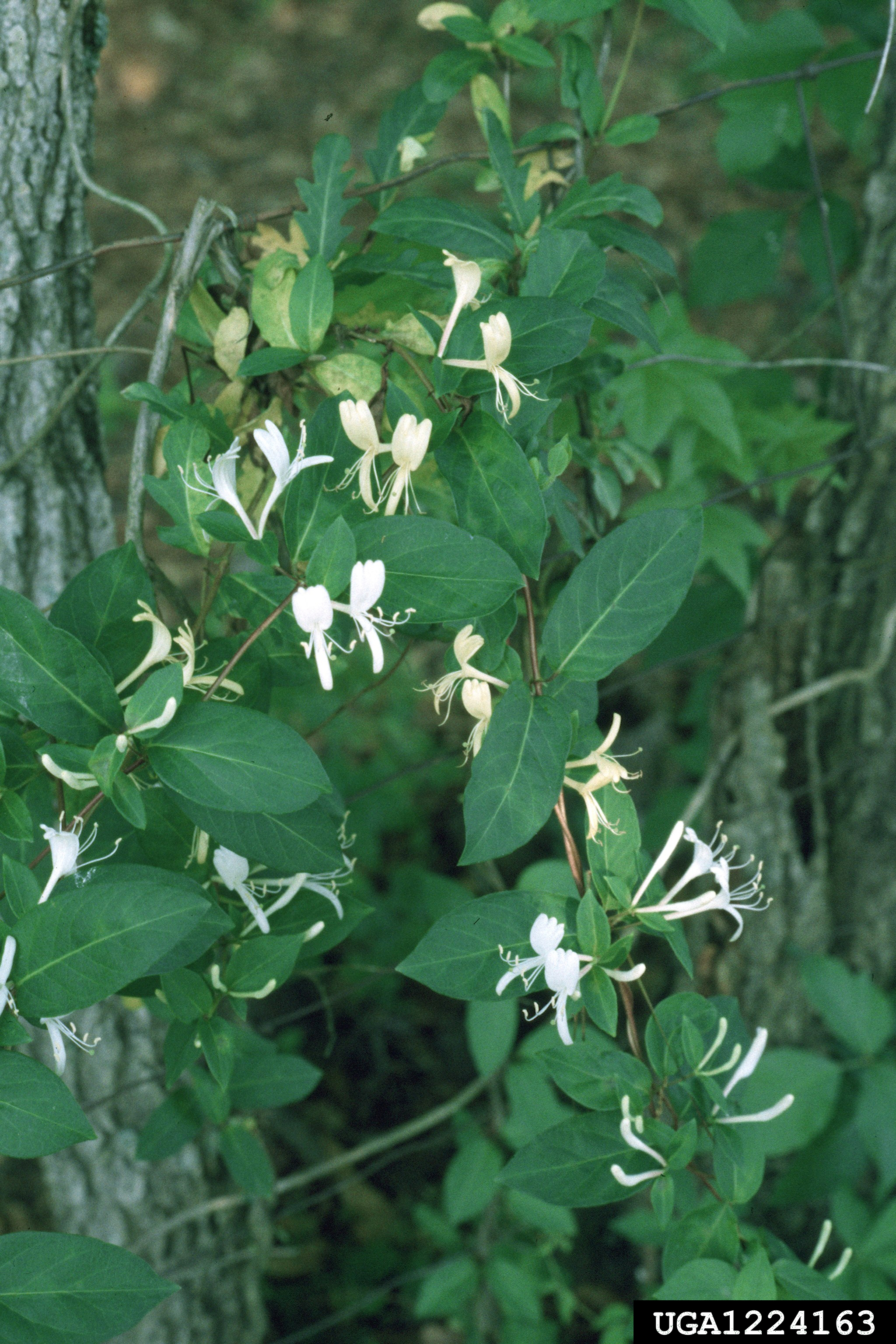 Most Georgians have fond childhood memories of honeysuckle vines, but the species of the fragrant vine that is most common is actually an invasive.