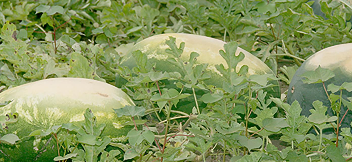 Sunburnt watermelons in a field in Tift County.