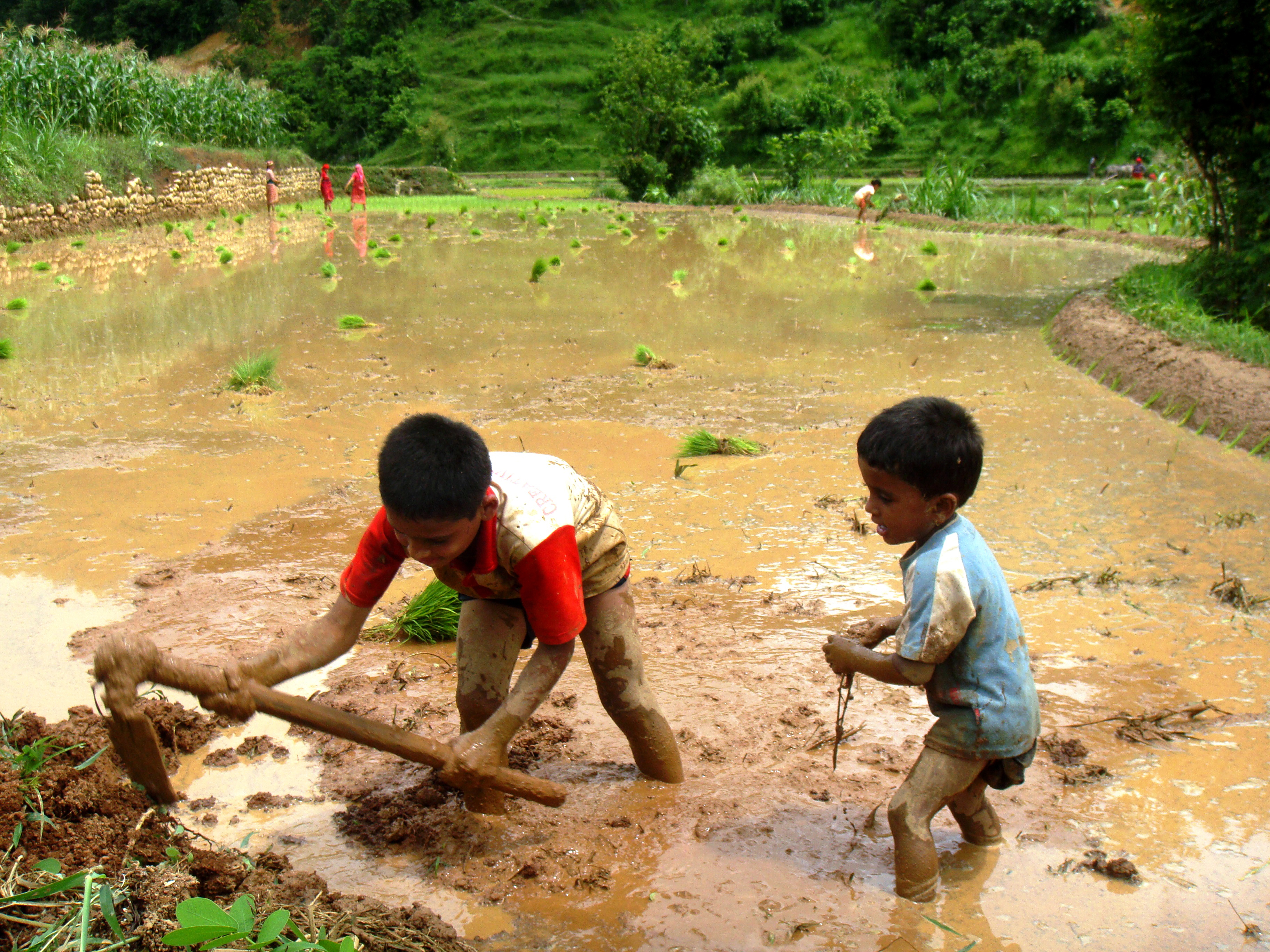 The second place winner of the 2015 Ag Abroad Photo Contest. Entry description: The picture was taken in July 2014. It describes a typical day of a rice planting day in hilly area of Nepal. Every member of the house hold participates and goes in the field to plant the rice. Nepal has a sustainable agriculture farming system. Every household is a farmer and has a small piece of land and few domestic animals. They live from the food they produce in field and from animals they raise. Rice is a staple food in Nepal and this picture shows a typical rice cultivation day in the hills. The field shown here is almost ready to plant the rice saplings. Farmers use ox and human power (spades) to plough the field and make it ready for planting. Usually male members plough the field and female members plant the rice. Female members of the house in the far of the picture are planting the rice. Starting from a kid you are taught about farming system. They get involved in every little way they can in the agriculture system. It is in fact fun for children to play and at the same time learn about the agriculture system and hardship of life.