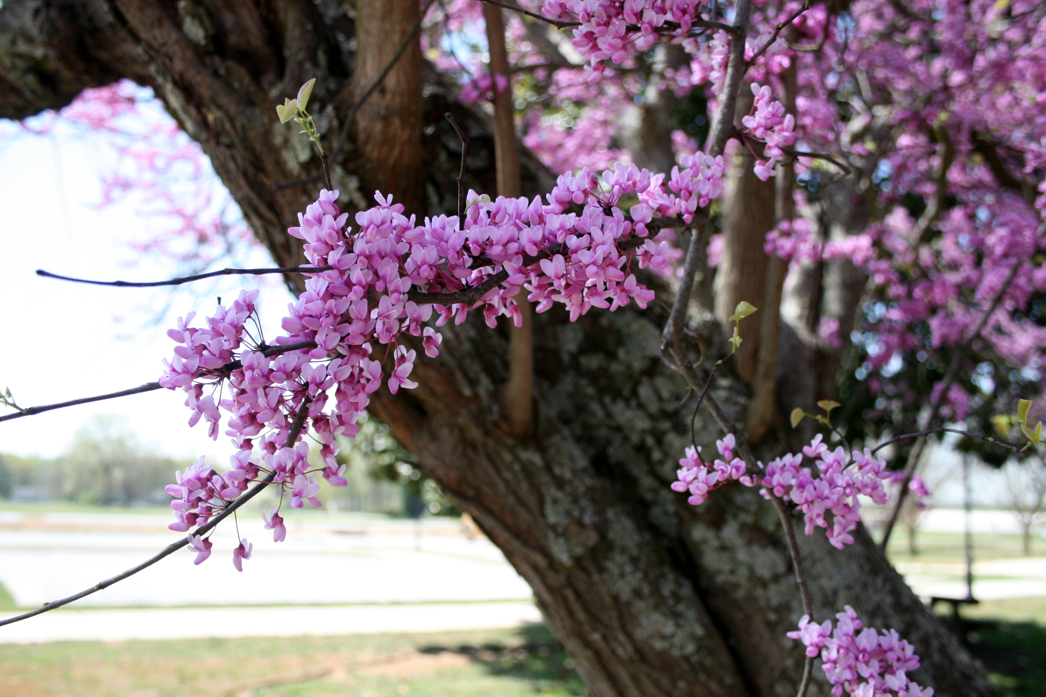 A redbud tree bursts with blooms on the University of Georgia campus in Griffin, Ga.  This spring's cooler, drier start resulted in flowering trees blooming a week to two weeks later than usual.