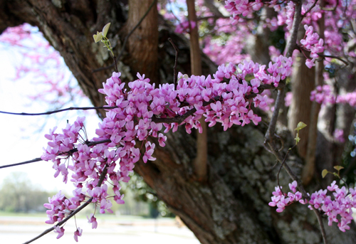 A redbud tree (cercis spp.) blooms during springtime on the UGA Griffin Campus