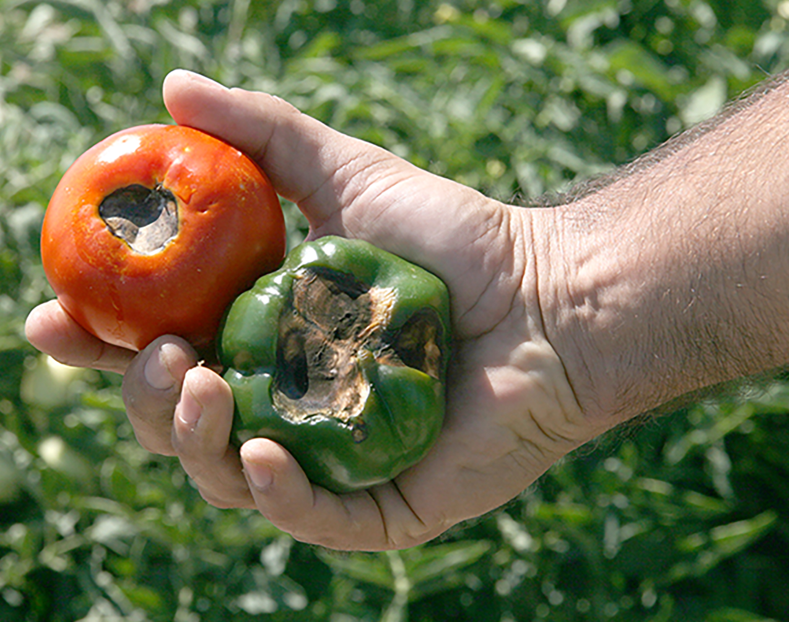 Tim Coolong holds a bell pepper and tomato. Both vegetables, grown on the UGA Tifton Campus, show symptoms of blossom end rot.