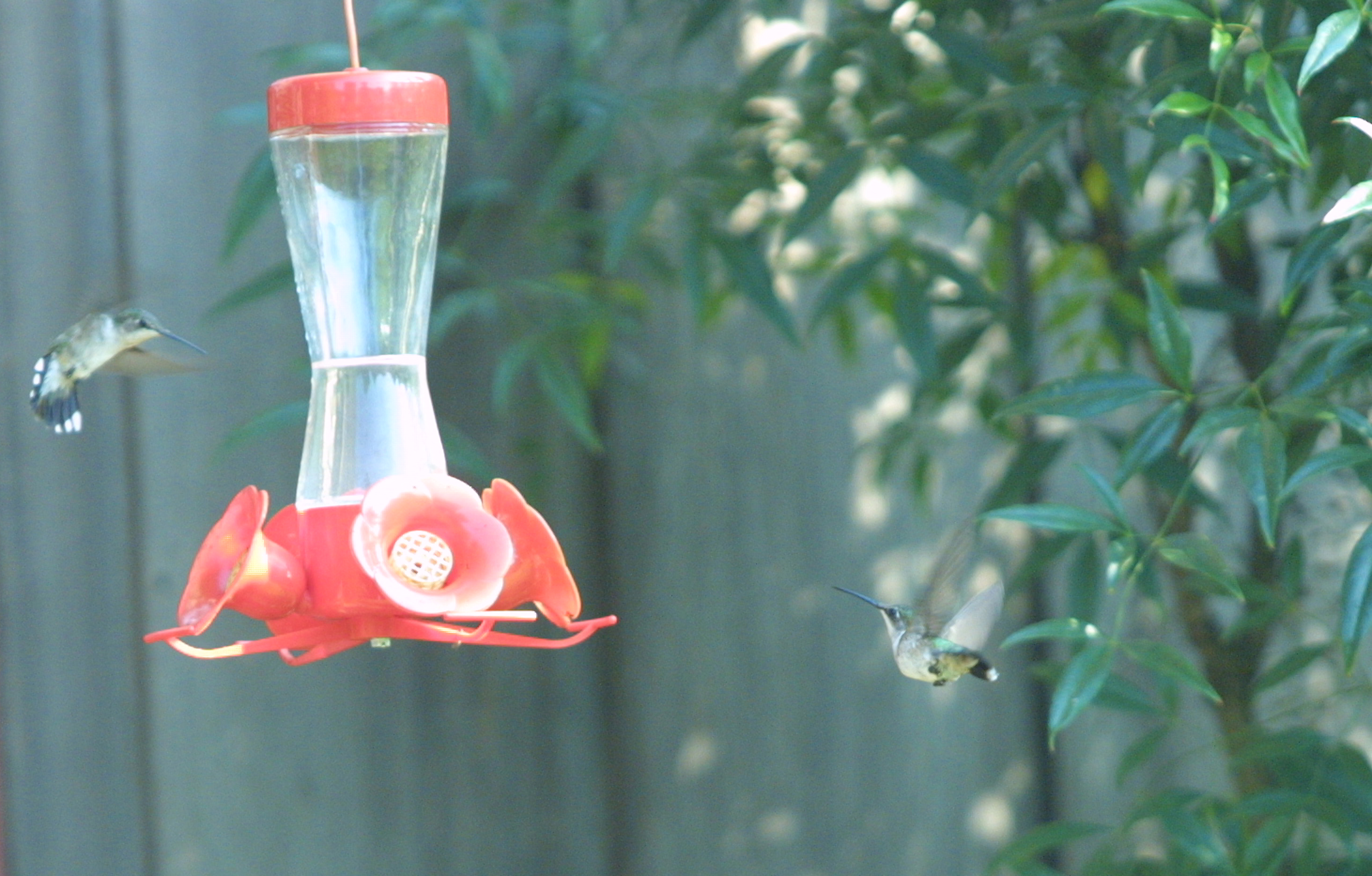 A pair of hummingbirds fly around a feeder at a North Georgia home.