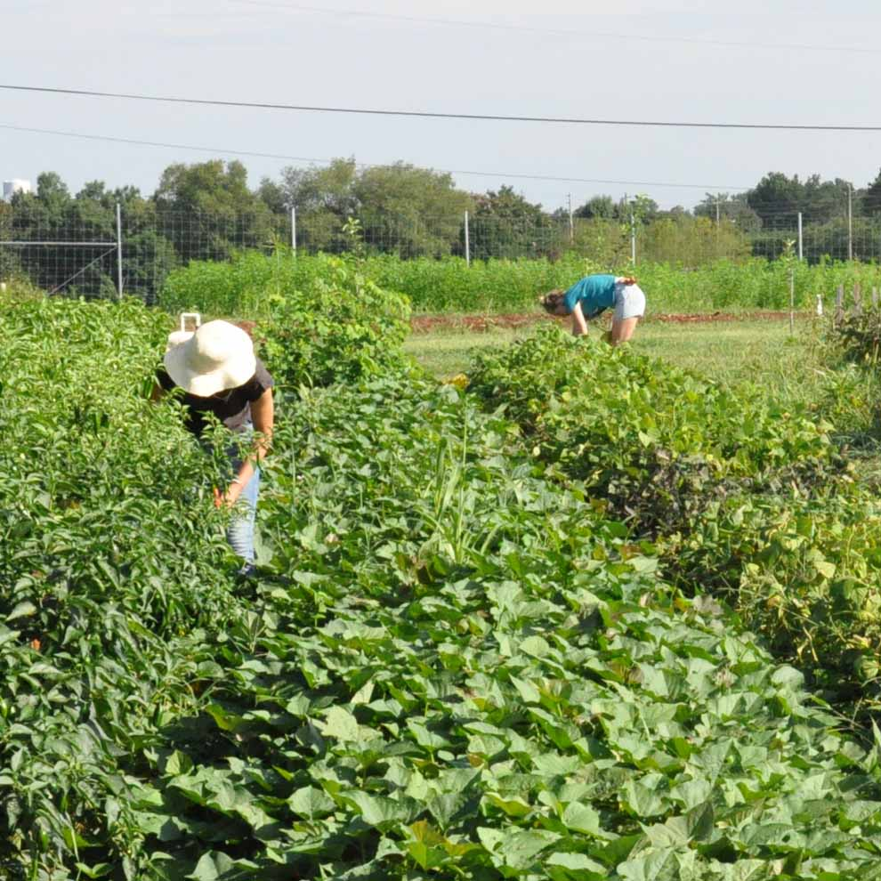 Students work at UGArden, UGA's student-run farm, during the visit of USDA Undersecretary Kevin Concannon on July 22, 2015.