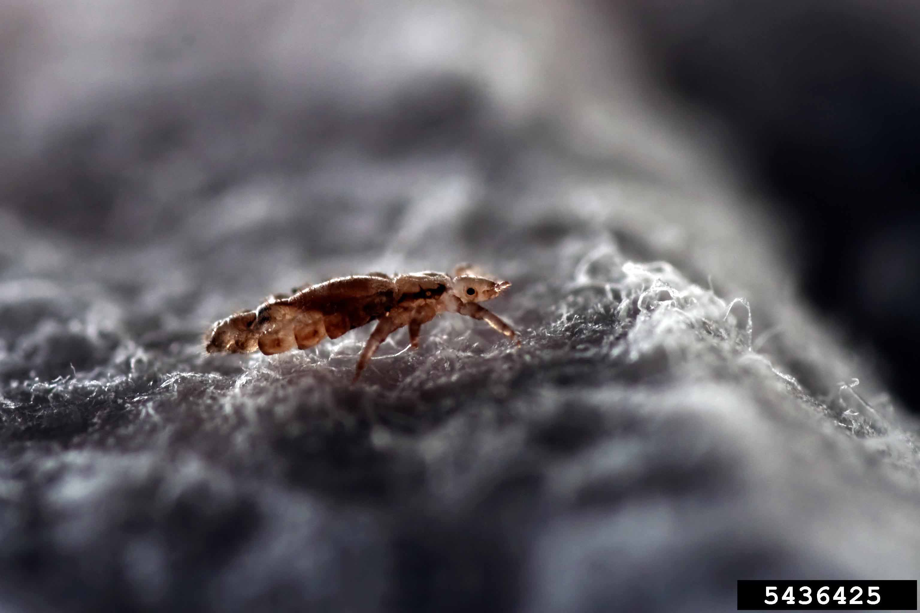Insecticide-resistant head lice have been found in 37 states including Georgia, but there is no reason to panic.