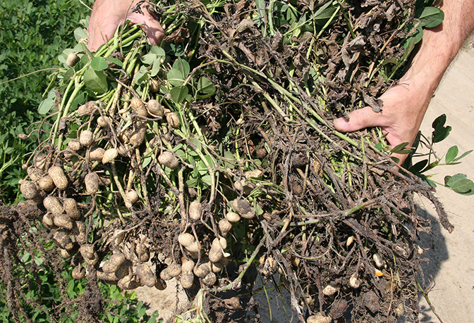 Pictured is a comparison between healthy peanuts and those infected with white mold disease.