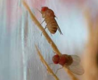 The most common species of fruit fly has red/orange eyes, but not all fruit flies have red/orange eyes. Fruit flies, typically just an eighth of an inch in size, often hover around and just above food (most often decomposing vegetable matter) prior to landing.  Habits: Feed mainly on decaying vegetable matter, compost, rotting fruit, etc. Often found around salad bars and restaurants where vegetable matter and juices collect. Also called vinegar flies, since vinegar (acetic acid) is a decomposition product of some rotting vegetable matter.  Interventions: Find larval fly feeding site(s) and clean or otherwise throw away rotting fruit or vegetable matter. Remove garbage, including the plastic liner, and other refuse at least twice per week.  Might Be Confused With: humpbacked flies, fungus gnats, moth flies.