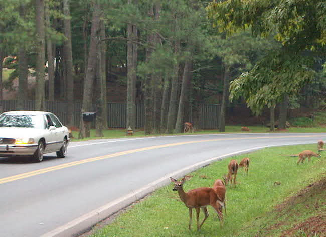 University of Georgia Professor Bob Warren says deer rarely travel alone. When a motorist hits a deer, it's usually the second deer that crosses the road; not the first, he said.