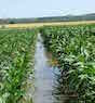 Corn plants are surrounded by water in a field in Kansas in 2014. Heavy rains leave farmers with no way to get in their fields to tend or harvest their crops.