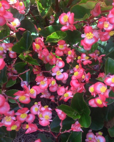 Begonia Baby Wing® 'Bicolor' – PanAmerican Seed