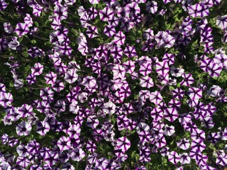 Petunia Supertunia® 'Violet Star Charm' – Proven Winners