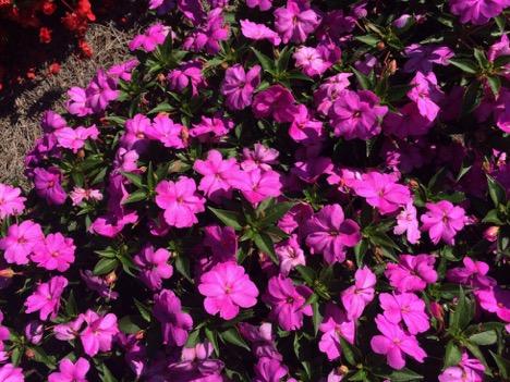 Impatiens Sun Harmony™ 'Pink' – Danziger
