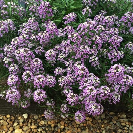 Lobularia 'Lavender Stream' – Danziger Flower Farm