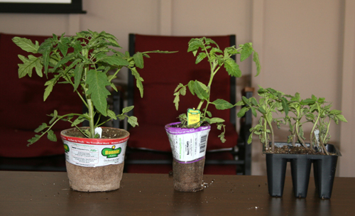 Tomato plants in pots at various sizes
