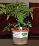 Tomatoplants