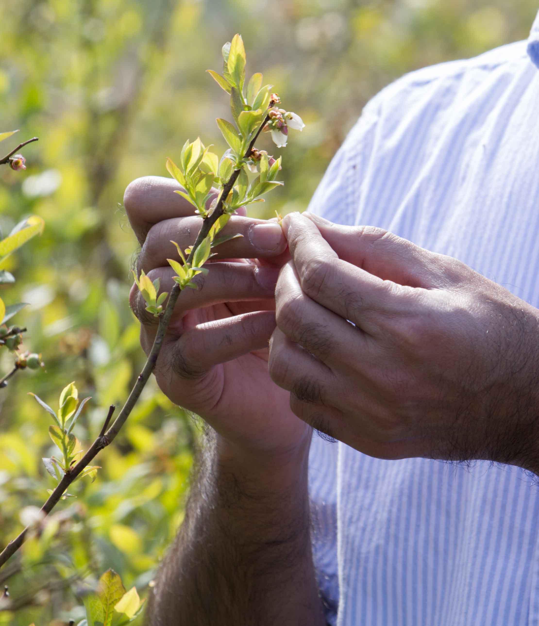 UGA entomologist Ashfaq Sial inspects a blueberry bush for damage.