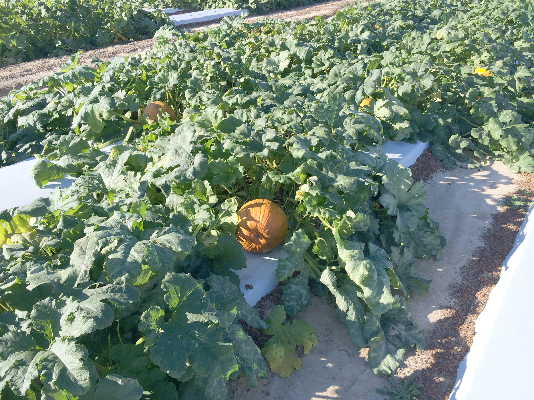 Pictured are pumpkins growing on the UGA Tifton Campus in 2014.