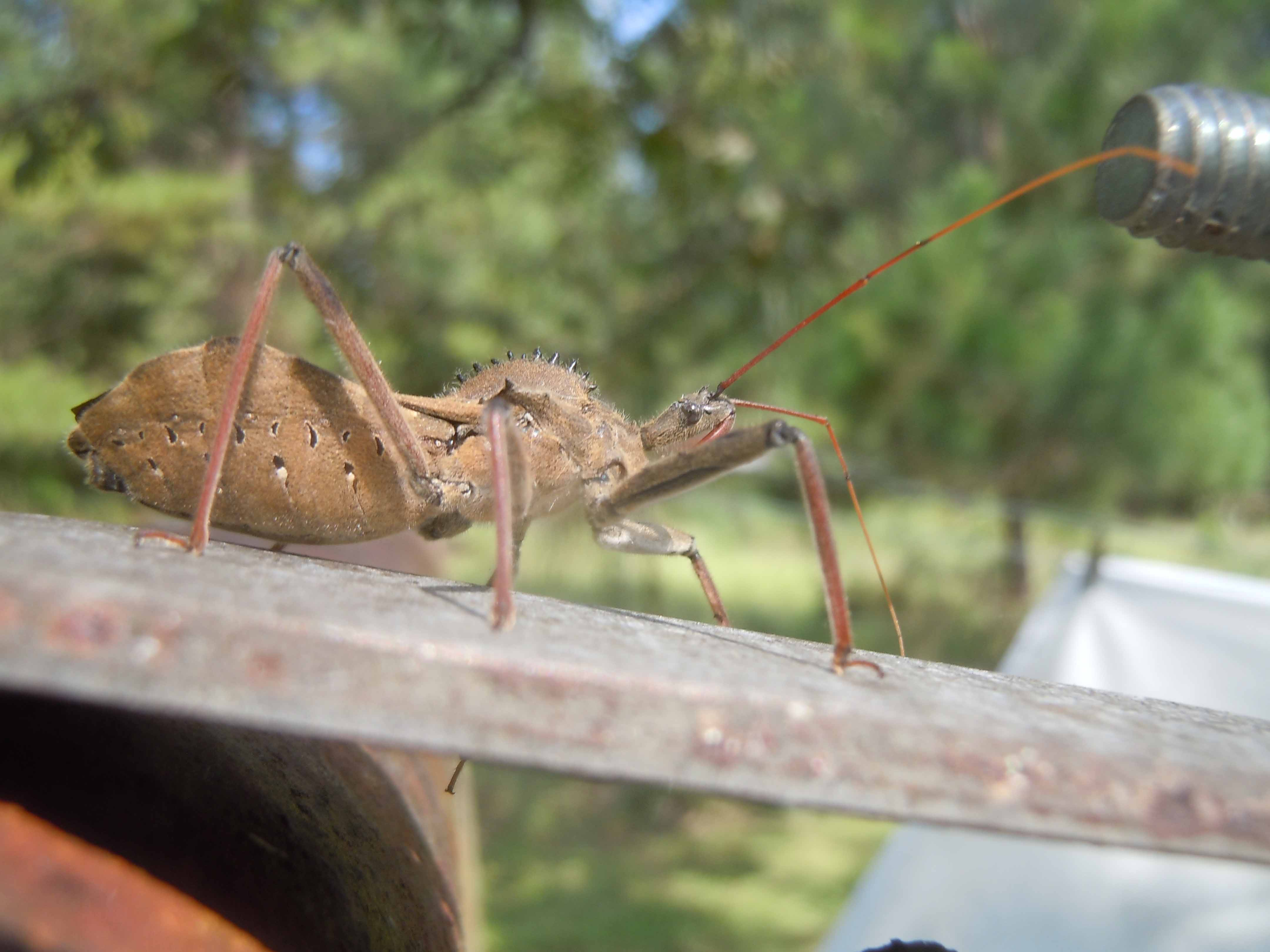 Many Georgians are confusing the common wheel bug, which is beneficial in Georgia gardens, with the kissing bug, which made news earlier this fall.