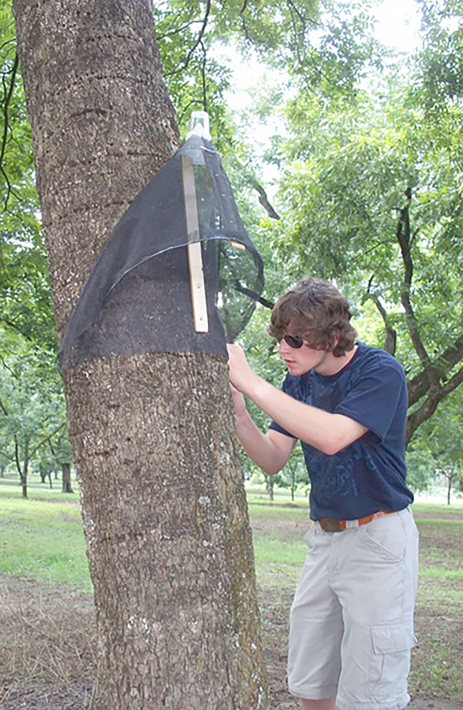A Dougherty County 4-H'er helps put up a trap to monitor pecan weevils.