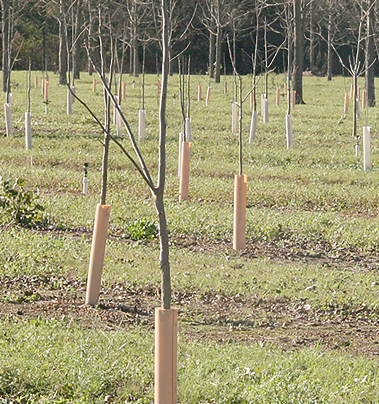 Young, immature pecan trees are shown on the Ponder Farm on the UGA Tifton Campus.