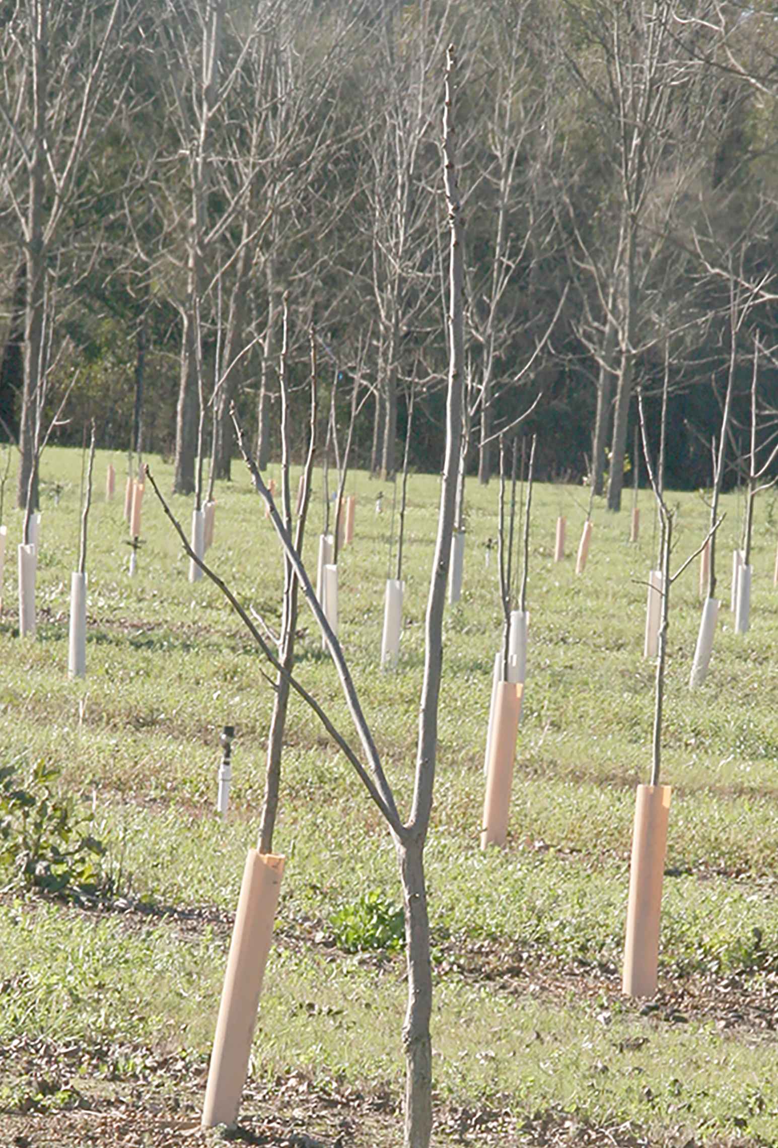 Young, immature pecan trees are seen at the Ponder Farm on the UGA Tifton Campus on Tuesday, Jan. 5, 2016.