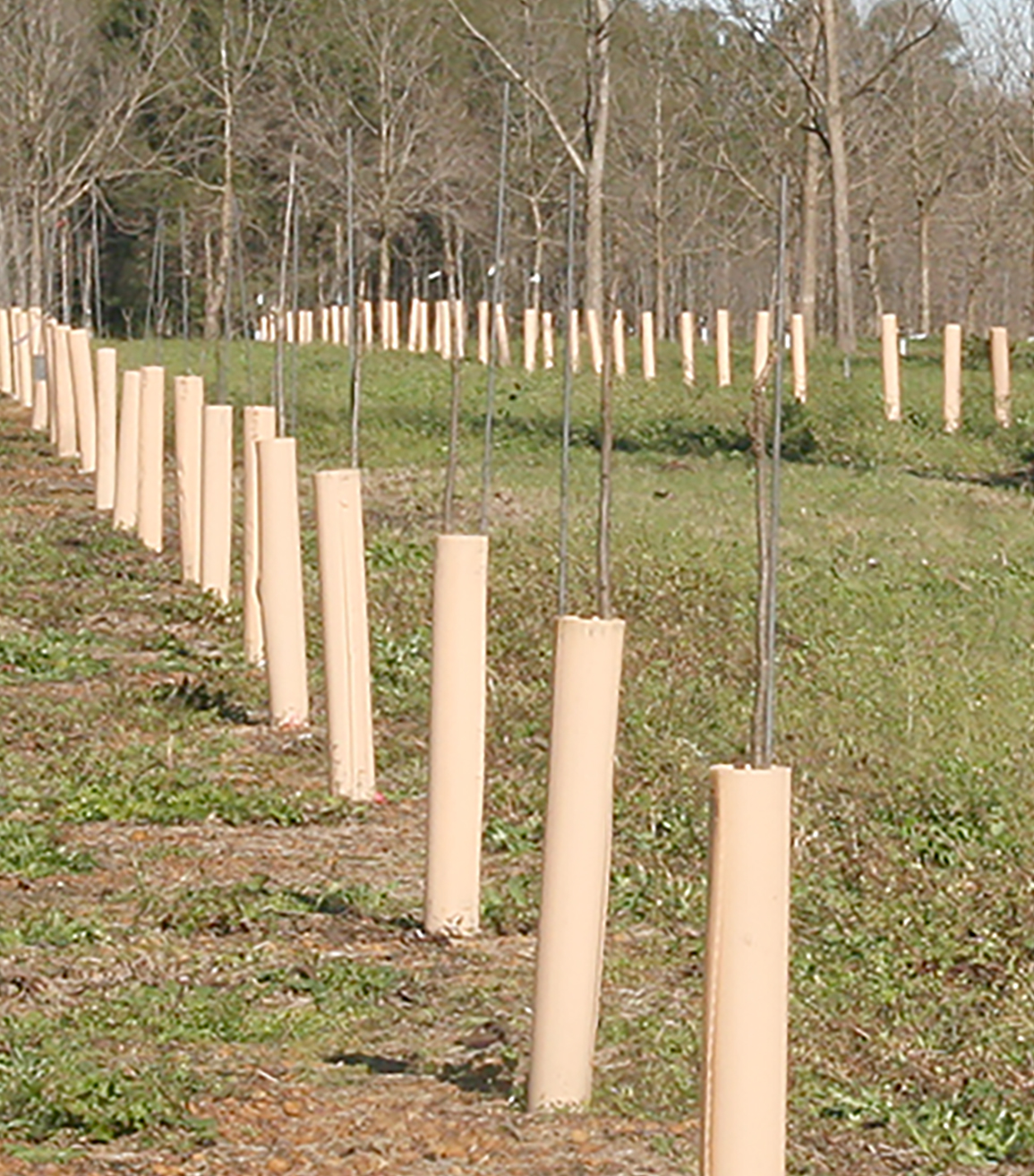 Young, immature pecan trees are seen at the Ponder Farm on the UGA Tifton Campus on Jan. 5, 2016.