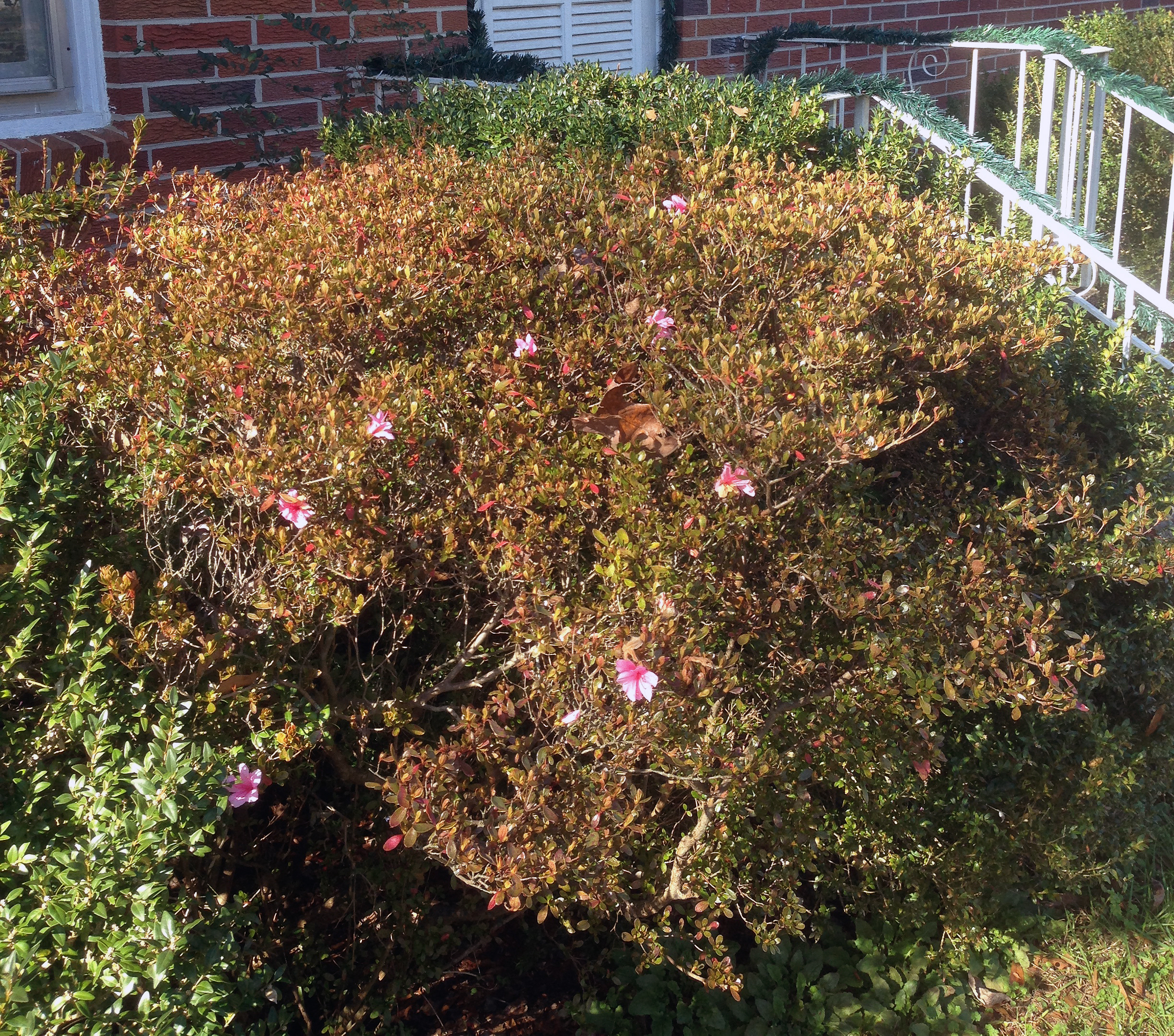 Springlike weather throughout the state cause ornamental shrubs and trees to bloom early. These azaleas blossomed the week before Christmas in Hart County.