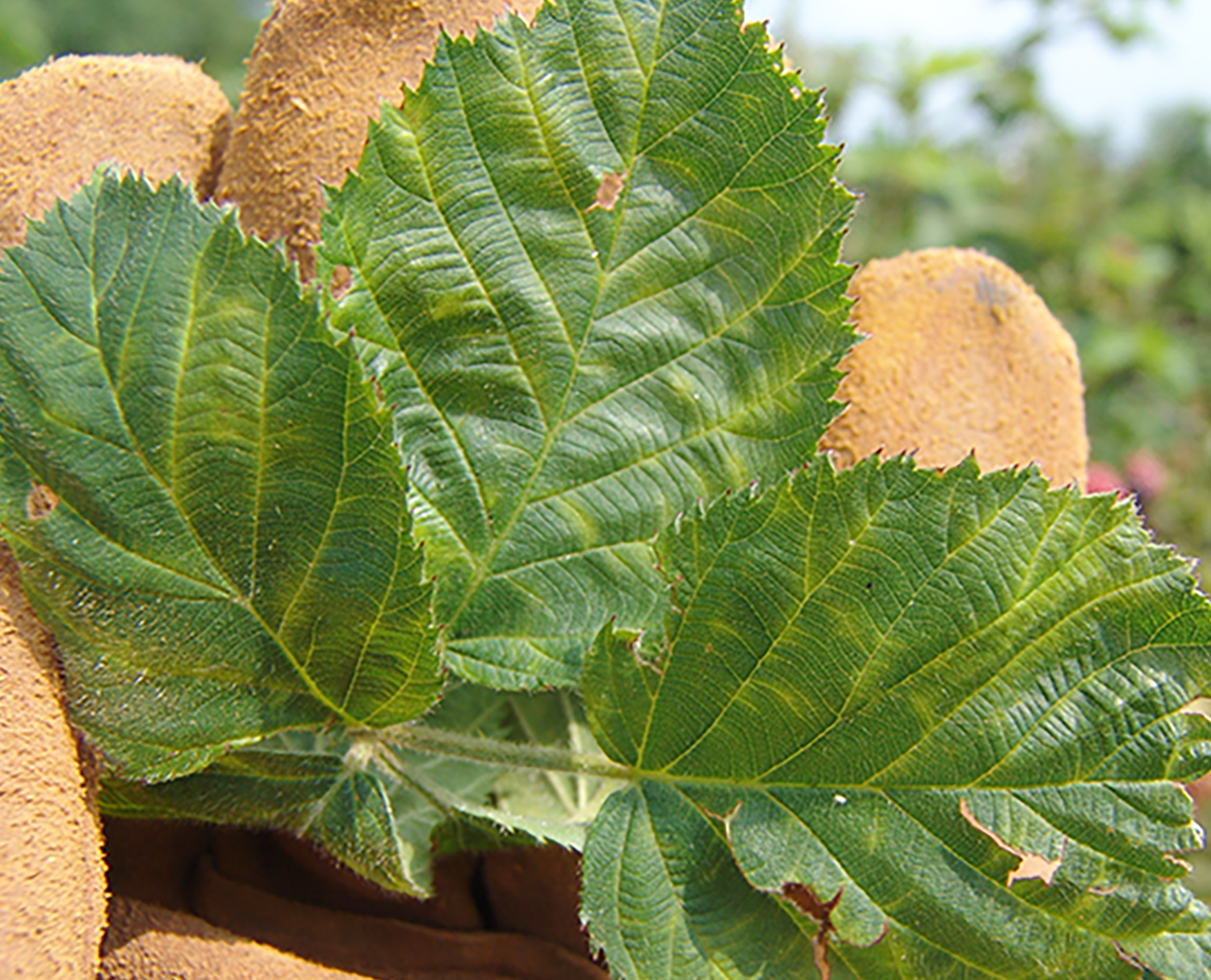 Pictured are three blackberry leaves that have Blackberry Yellow Vein Virus.