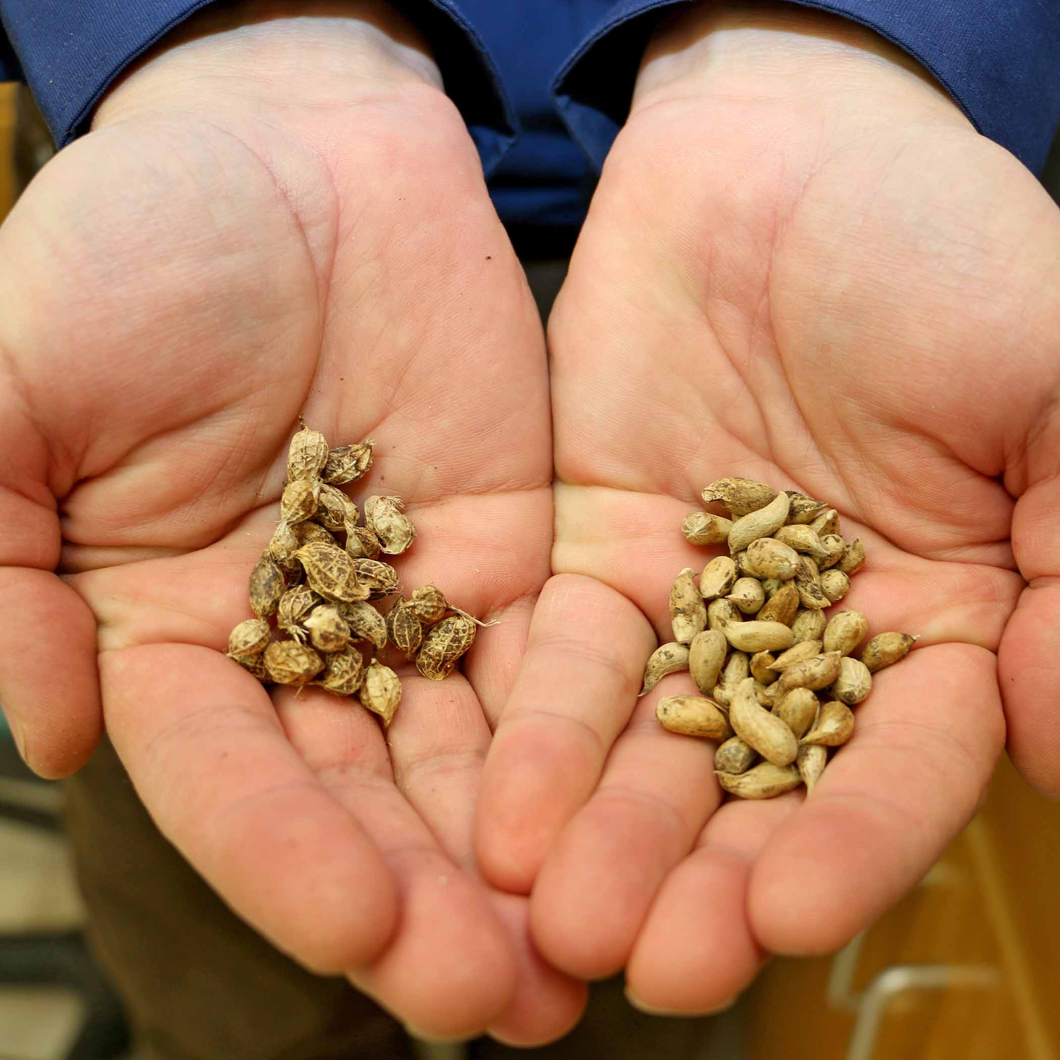 Arachis ipaensis, left, and Arachis duranensis, right, are the two species of wild peanut that crossed to provide the genetic blueprint for today's modern peanut varieties.