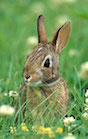 Fictional Peter Rabbit isn't the only rabbit that enjoys munching in vegetable gardens. To keep rabbits out of home gardens, University of Georgia Extension specialists recommend building a fence around precious plants. The fence must be at least 2-feet high and the bottom must be buried at least 3-inches deep.