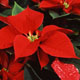 A variety of poinsettias.