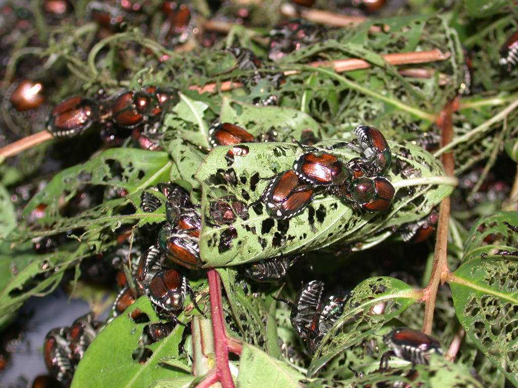 Japanese beetle traps actual attract beetles to your landscape.