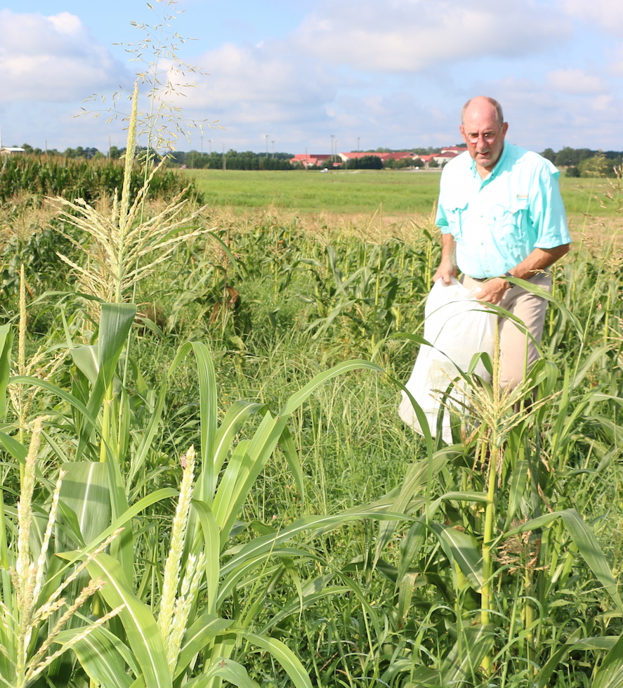 Professor Nick Hill harvests corn from his test plots at the J. Phil Campbell Research and Education Center in Watkinsville, Georgia.