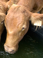 Using a farm pond as a giant watering dish for cattle may be an easy way to provide livestock with water, but it's not the healthiest. University of Georgia Cooperative Extension experts say this can spread diseases through a herd, affect the fish quality and destroy the stability of the pond's shoreline.